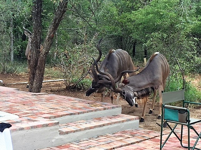 kudu in back yard