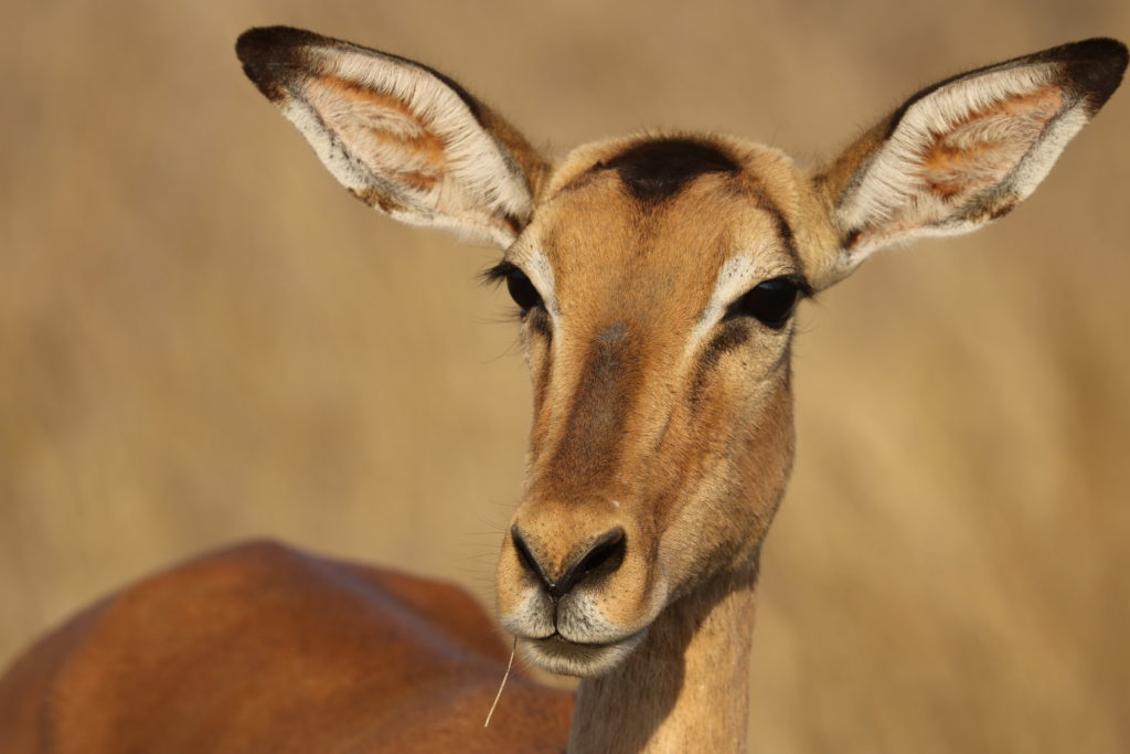 impala in Marloth