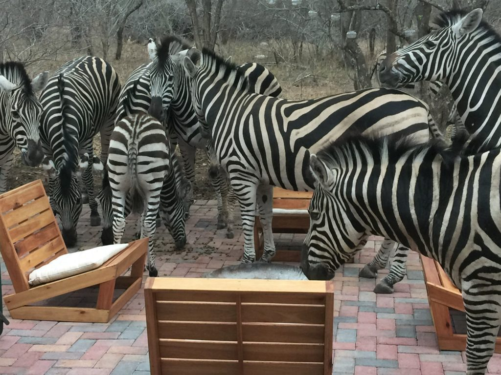 zebra party on the patio