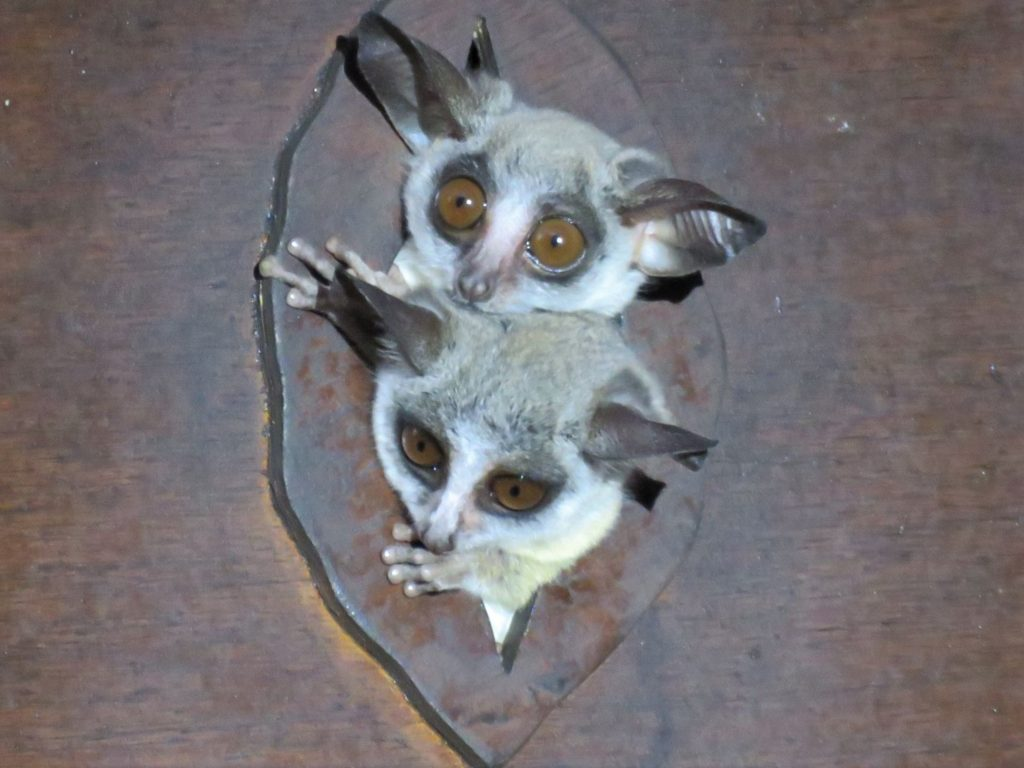 bushbabies by guests Kim/Rob Hounsome