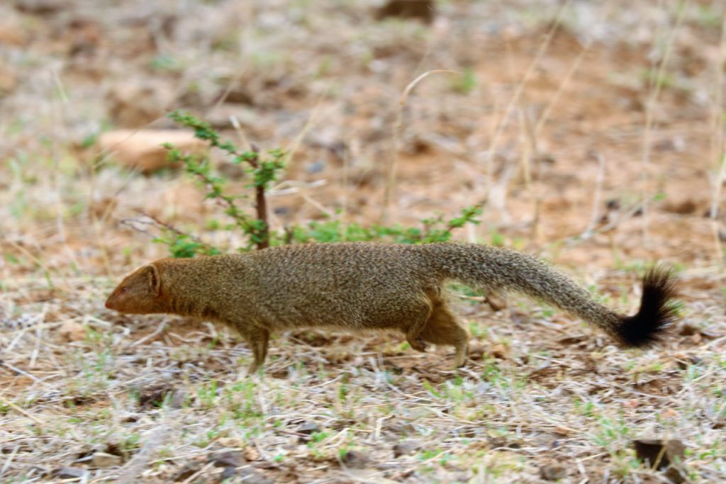 mongoose in Marloth